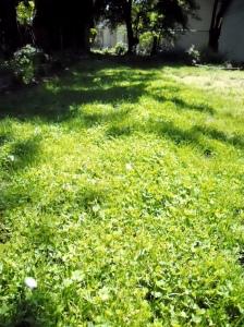 Fleur de Lawn 1 Year after Sowing